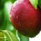 Mango, regele fructelor exotice