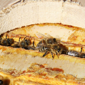 Propolis, un veritabil antibiotic natural