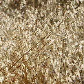 Ovăz integral, cea mai hrănitoare cereală