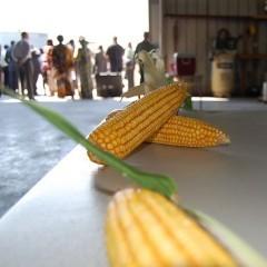 Porumb, una dintre cele mai populare cereale
