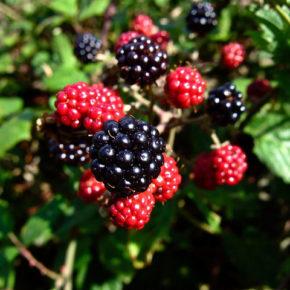 Mure, fructe de pădure cu proprietăți minune