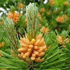 Muguri și semințe de pin, daruri de sănătate