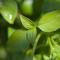 Plante medicinale și aromatice bune în bucătărie