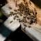 Comorile din stup: lăptișor de matcă, păstură, căpăceală, ceară de albine