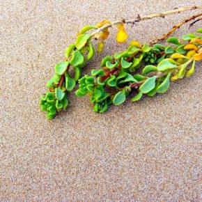 Alge marine, comoara din adâncuri