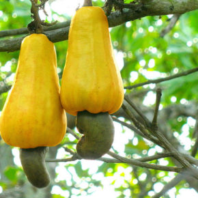 Nucile de caju sunt nuci, semințe sau fructe?