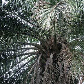 Uleiul de palmier, alimentul fără colesterol, dar bogat în calorii