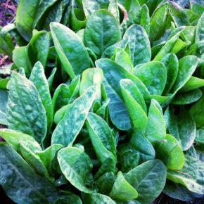 Măcriș şi al lui verde sănătos