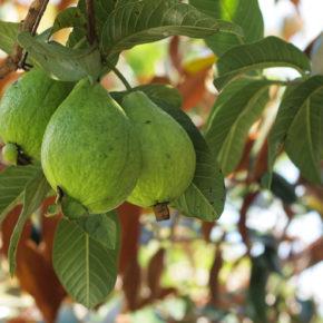 Guava, fruct exotic pentru o iarnă fără răceli