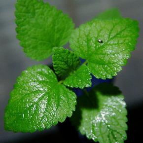 Mentă, planta aromatică vindecătoare