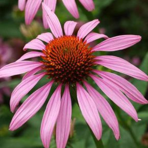 Echinacea, antibiotic natural