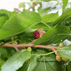 Dude, fructe mici cu un mare potențial antioxidant