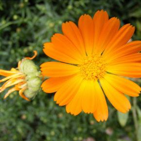 Gălbenele, minunată plantă medicinală