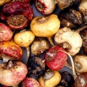Maca peruană – un aliment-medicament controversat