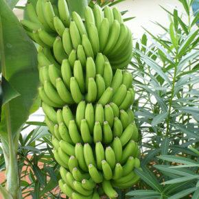 10 lucruri uimitoare despre banane