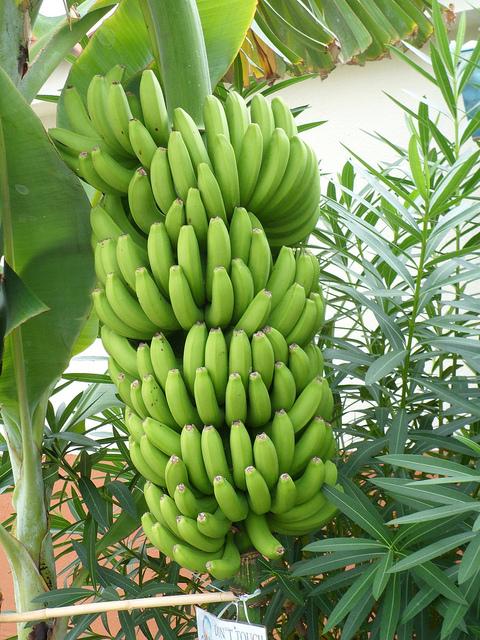 lucruri uimitoare despre banane