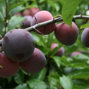 5 lucruri interesante despre prune