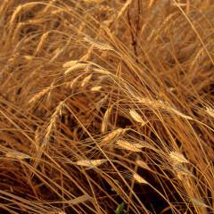 Einkorn, grâul antic ușor de digerat