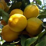 8 lucruri interesante despre lămâie